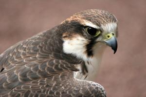 falco bird control
