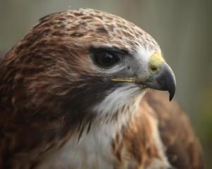 antica falconeria toscana corsi falconeria spettacoli